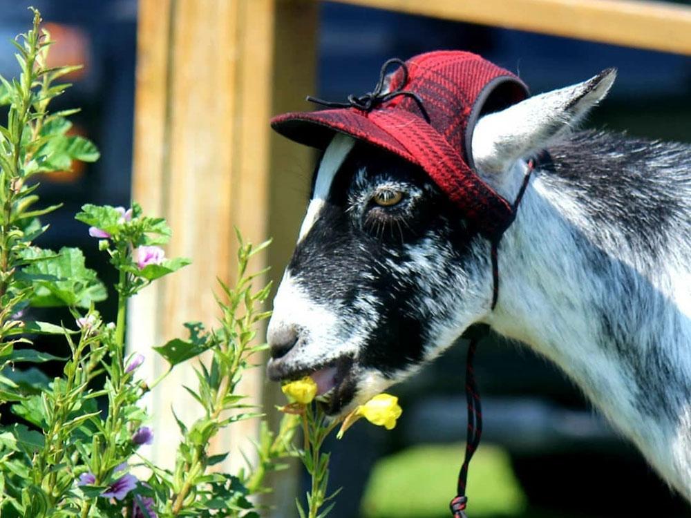 Fern the Goat in Stormy Kromer